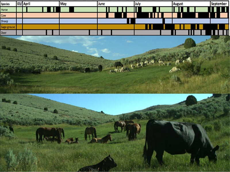 Trail camera photo of sheep and cows and another with wild horses and cows in a lentic meadow.  Both are shown with a graph showing the days when each species of animal as well as sage grouse and deer were observed in the meadow.