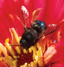 Close up of a blue orchard bee on a red flower.