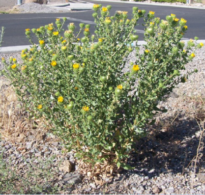 Curlycup gumweed plant