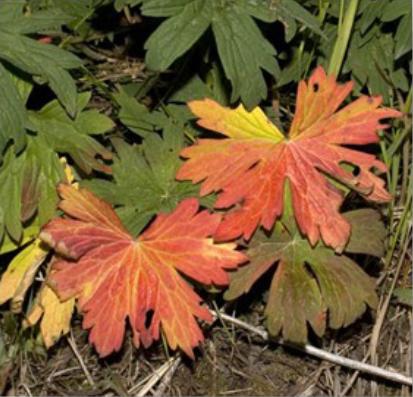 Orange geranium viscosissimum plant