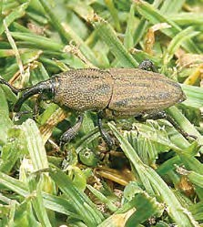 Close up of an adult billbug.