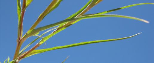 Western salsify leaves