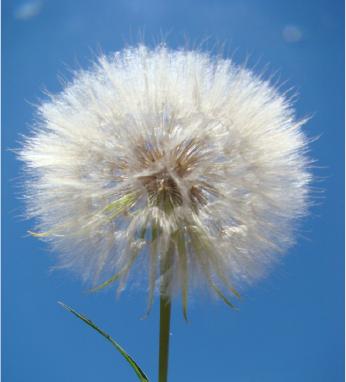 Western salsify white flower