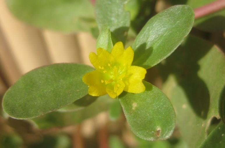 Purslane yellow flower.