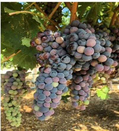 Grape changing color as they mature.