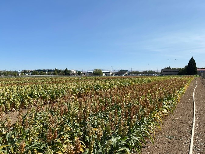 Rows of sorghum planted in field.