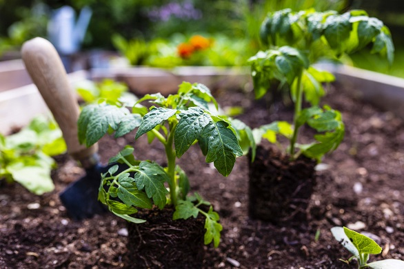 Plants in soil with small shovel