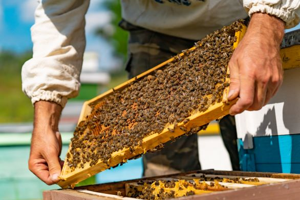 Man holds honey bee hive board.