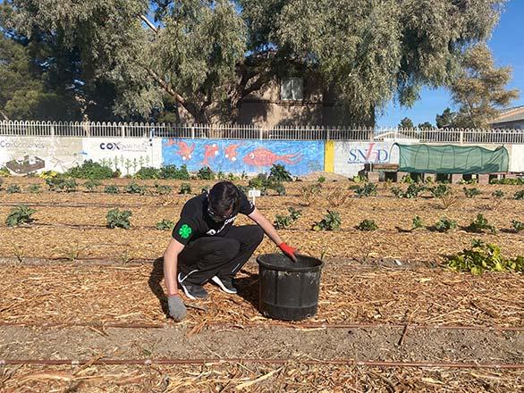 4-H member picking weeds in field