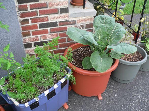 Romanesco broccoli growing in a planter pot
