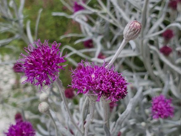 Silver Ironweed, Vernonia lindheimeri v. leucophylla