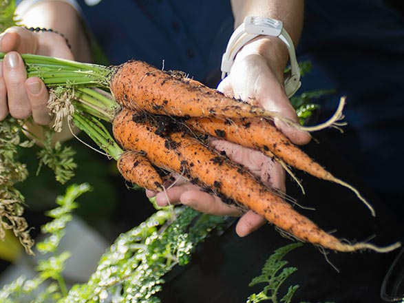 hands holding freshly picked carrots