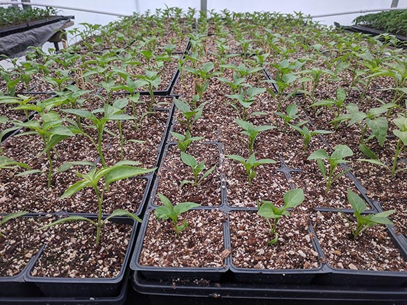 pepper sprouts