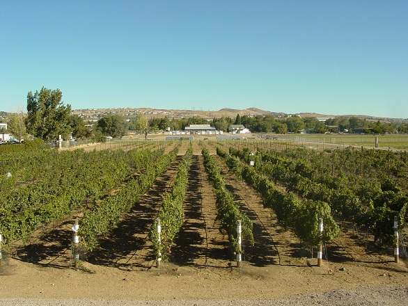 UNR Experimental Vineyard