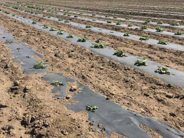 a field of winter squash plants
