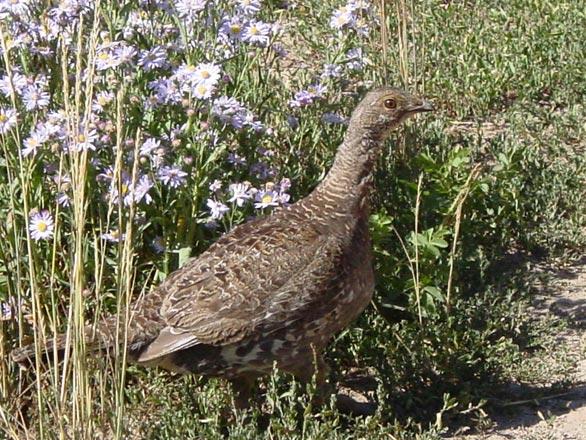 sage grouse hen