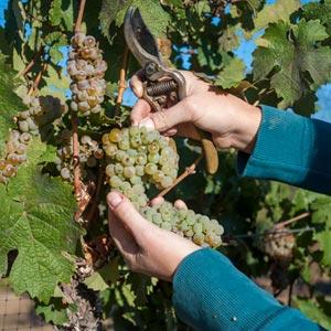 reno wine grapes