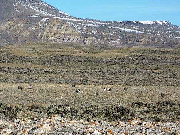 sage grouse habitat