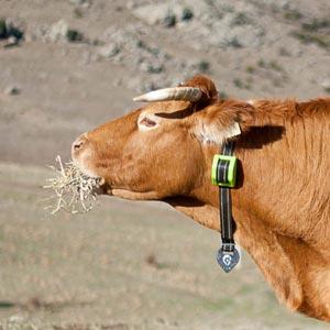 gps collard cow